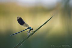 Calopterix (Fernando.P.Photo) Tags: flickrunitedaward calopterix