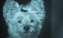 a bit blue.. HSS (Dotsy McCurly) Tags: ruffy cute dog cairnterrier blue hss happysliderssunday nikon d7200 nj
