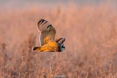 ShortEaredOwl-0021.jpg (vorneo) Tags: shortearedowl bird wild birdofprey seo classaves orderstrigiformes familystrigidae genusasio phylumchordata speciesaflammeus wildbird kingdomanimalia binomialnameasioflammeus
