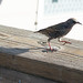 Common Starling at Pier 39 San Francisco