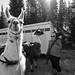 Llamas are ready!