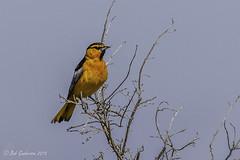 Bullock's Oriole (Bob Gunderson) Tags: california birds northerncalifornia southbay orioles baylands santaclaracounty bullocksoriole icterusbullockii canoneos7dmarkii