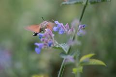 Hummingbird hawk-moth (Jan Moons) Tags: flower nature butterfly insect nikon hummingbird moth fast sigma hawkmoth 70300 nikond600