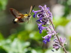 Hummingbird Hawk-moth (Mike Prince) Tags: france lepidoptera moths languedocroussillon caunesminervois hummingbirdhawkmoth butterfliesandmoths insectsandspiders abbeyofstpeterandstpaul caunesminervoisabbey
