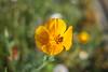 Série Fleur 2015 - 1 (Macsous) Tags: alpes lyon fleur fleurs flower flowers gazon herbe herbes japonais jardin jaune mauvaise rhone solaize tige verdoyant vert