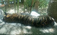 Sleeping Sumatran Tiger 5 (sjrankin) Tags: california panorama animal northerncalifornia zoo edited tiger sacramento sumatrantiger hdr sacramentozoo williamlandpark sacramentocalifornia 6july2015
