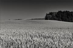 Erntereif (Helmut Reichelt) Tags: leica bw germany deutschland bavaria sommer wheat oberbayern feld sw juli ernte m9 weizen weizenfeld leicasummilux50mmf14asph silverefexpro2 schwaigwall captureone8