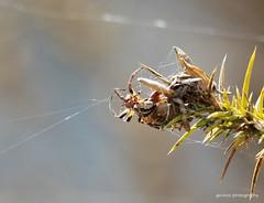 Furrow spider, Larinioides cornutus (Geckoo76) Tags: spider larinioidescornutus furrowspider