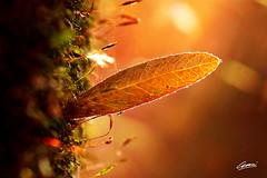 Yellow leaves (mártaczuczi) Tags: leaves falevél brown barna nature természet hungary czuczi márta moha moss