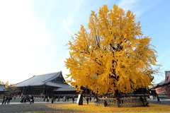 Autumn tree (Teruhide Tomori) Tags: 銀杏 イチョウ 秋 西本願寺 京都 寺社建築 日本 木造建築 樹木 ginkgo autumn tree japan kyoto temple yellow plant japon architecture building construction wooden leaf