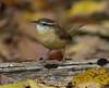 Carolina Wren (AllHarts) Tags: carolinawren backyardbirds cordovatn naturesspirit thesunshinegroup ourwonderfulandfragileworld feathersbeaks naturescarousel ngc npc
