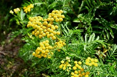 Common Tansy, Minnesota, Cook County (EC Leatherberry) Tags: yellowwildflower minnesota wildflower cookcounty tanacetumvulgare commontansy
