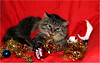Merry Christmas to all Furry Friends ! 🎅🎄🎅 (Simply Viola) Tags: cat gatto pet christmascat gato katze kot christmasanimal christmaspet