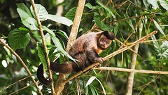 Slow moton of a capuchin monkey sitting on a tree branch licking (ChrisDortch) Tags: zoology ancestor animal ape brazil brown conservation creature curious cute ears ecology environment evolution expressive face facial forest fur furry green habitat hair hairy jungle looking mammal monkey national natural nature outdoor plants prehensile primate primitive rainforest remote reserve simian sits sitting small species thoughtful tree wild wilderness wildlife wood