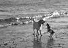 Connie & Sadie (KelJB) Tags: dogplay dogsjumping coast surf seaside blackwhite blackandwhite goldenretriever retriever jackrussell terrier canine play beach dogs dogsplaying