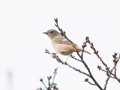 161211_GX7_1450919 (kuad9) Tags: bird