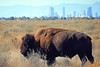 bison bison (oldogs) Tags: bison buffalo denver rockymountainarsenal t6s