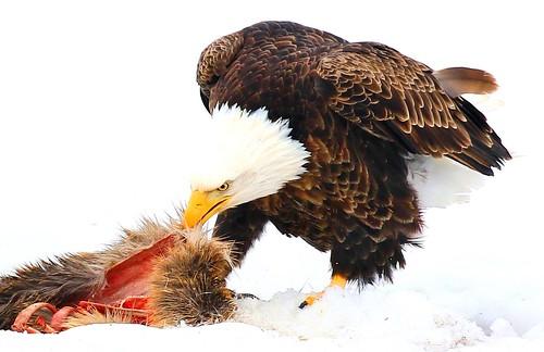 bald eagle eating white-tailed deer near Decorah IA 854A1854