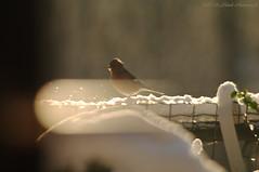 Winter (Natali Antonovich) Tags: winter christmasholidays christmas tradition portrait lifestyle bird parallels snow frost tervuren belgium belgie belgique