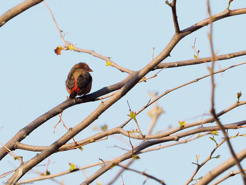 Red-billed Fire-finch/Lagonistica senegala,