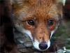 In the eyes of the fox (Steff Photographie) Tags: renard fox eyes nature animal animaux animals sauvage liberté
