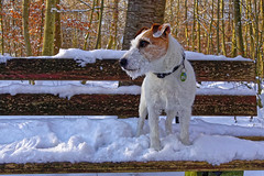 Anton snowdog (Oliver Kuehne) Tags: anton jackrussellterrier snow winter hiver schnee bayern bavaria germany sonyrx100mkii