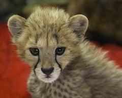 Oh How Precious You Are! (Penny Hyde) Tags: babyanimal bigcat cheetah cub safaripark