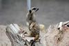 Erdmännchen im Wild Place Project - Walled Garden (Ulli J.) Tags: zoo grosbritannien storbritannien greatbritain grandebretagne grootbrittannië royaumeuni verenigdkoninkrijk vereinigteskönigreich unitedkingdom uk england engeland angleterre southwestengland bristol wildplaceproject walledgarden erdmännchen meerkat suricate surikate stokstaartje surikat