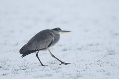 Step by step.... (Rob Christiaans  Nature and Wildlife) Tags: greyheron blauwereiger canon5dmkiii canonef500mmf4is bird wildlife duiven snow winter