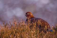 Red Grouse (Peter Quinn1) Tags: redgrouse grouse derwentedge derbyshire winter heather snowy