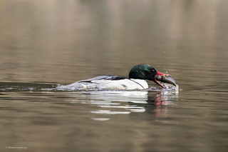 Common Merganser | Grand Harle