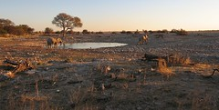 """See you later!"" (vittorio vida) Tags: elephants lake pond namibia park etosha africa animals nature dawn sunset drink water landscape"