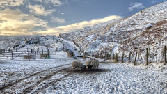 Dovestones Area, Saddleworth (Jay-Aitch) Tags: dovestonesreservoir saddleworth sheep snow winter cold frost lumix g vario 14140f3556 panasonic gx8