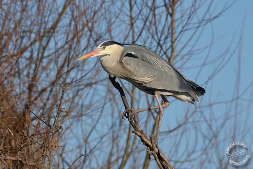 Graureiher - Grey Heron - Ardea cinerea