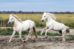 2016 Two Camargue Stallions (31) (maskirovka77) Tags: saintlaurentdaigouze languedocroussillonmidipyrén france languedocroussillonmidipyrénées fr stallion stallions whitehorse whitehorses whitestallion whitestallions createaway photoworkshop