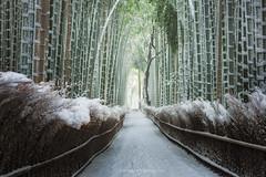 Zen Snow (Piriya Pete Wongkongkathep) Tags: kyoto arashiyama bamboo forest winter snow
