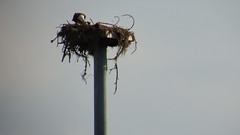 Eagle Family #1 (soniaadammurray - On & Off) Tags: digitalphotography birds eagles baby eating nest sky nature 2017 sarasota florida usa family