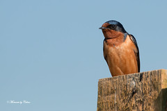 Barn Swallow (Canon Queen Rocks (2,336,000 + views)) Tags: wild nature birds fauna wings colours wildlife beak feathers perched barnswallow