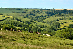 View from Charmy Down (Ian Redding) Tags: uk nature landscape landscapes bath cattle cows hills british rafcharmydown charmydown