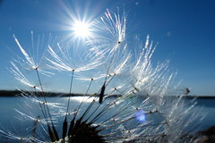 (evisdotter) Tags: light sun macro sol nature dandelion seeds sooc maskrosfrön