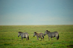 Ngorongoro Crater, Tanzania, 2014 (marc_guitard) Tags: africa park wild wall tanzania three wildlife conservation east safari ngorongoro national crater area mammals grasslands zebras ecosystem