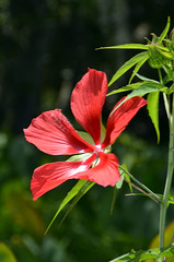 Ocala National Forest (National Forests in Florida) Tags: plants flower water st forest scarlet river us florida hibiscus service johns ocalanationalforest coccineus