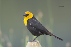 Yellow-headed Blackbird (featherweight2009) Tags: birds britishcolumbia blackbirds songbirds yellowheadedblackbird xanthocephalusxanthocephalus