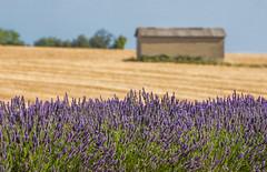 Hot Summer (marypink) Tags: summer sky france colors focus estate pov lavander fields provence francia casolare provenza lavanda 70300mmf4056 nikond7200