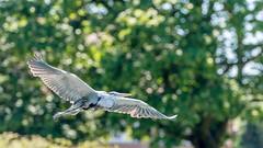 Heron bokeh (Myu83) Tags: summer bird heron nature canon eos flying bokeh mark wildlife ii 7d 100400ii
