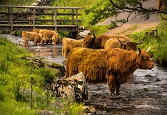 Cooling off.  ( Explored ) (AlbOst) Tags: summer scotland cattle cows explore streams calves waterways cooling scottishhighlands highlandcows footbridges sweetfreedom