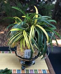 Neofinetia (Vanda) falcata (cieneguitan) Tags: flora lan bunga ran orkid okid angrek anggerek toyoran