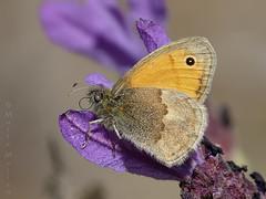 Entre cantuesos (Maite Mojica) Tags: flores flor mariposa insecto pamphilus lavandula nymphalidae lepidóptero coenonympha espliego stoechas artrópodo cantueso ninfálido