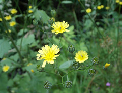 Nipplewort - Lapsana communis? (SAMARA:) Tags: scotland july wildflower asteraceae nipplewort lapsanacommunis