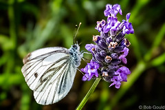 Green Veined White Butterfily (Bob0260) Tags: southwales wales butterfly lavender caerphilly greenveinedwhite